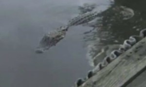 28- Year Old Man Disregard Alligator Warning Sign Jumps In Water & Is Immediately Eaten Alive