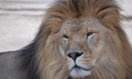 Lions Killed By Zookeepers In Chile Zoo After Eating A Man Who Entered The Lions Den Naked