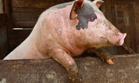 Health Update: 13 Reasons Why Humans Should Not Consume Pork