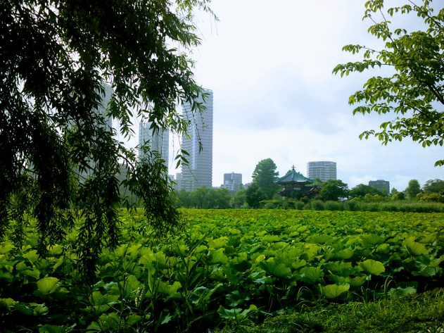 Vast stretch of green lotus leaves covering the pond