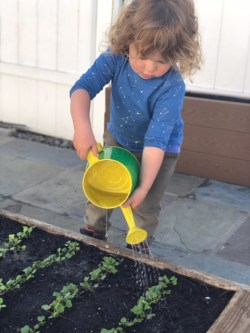 A small child waters sprouting seedlings