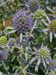 Eryngium planum, Apiaceae, Blue Eryngo by H. Zell courtesy of Wikimedia Commons
