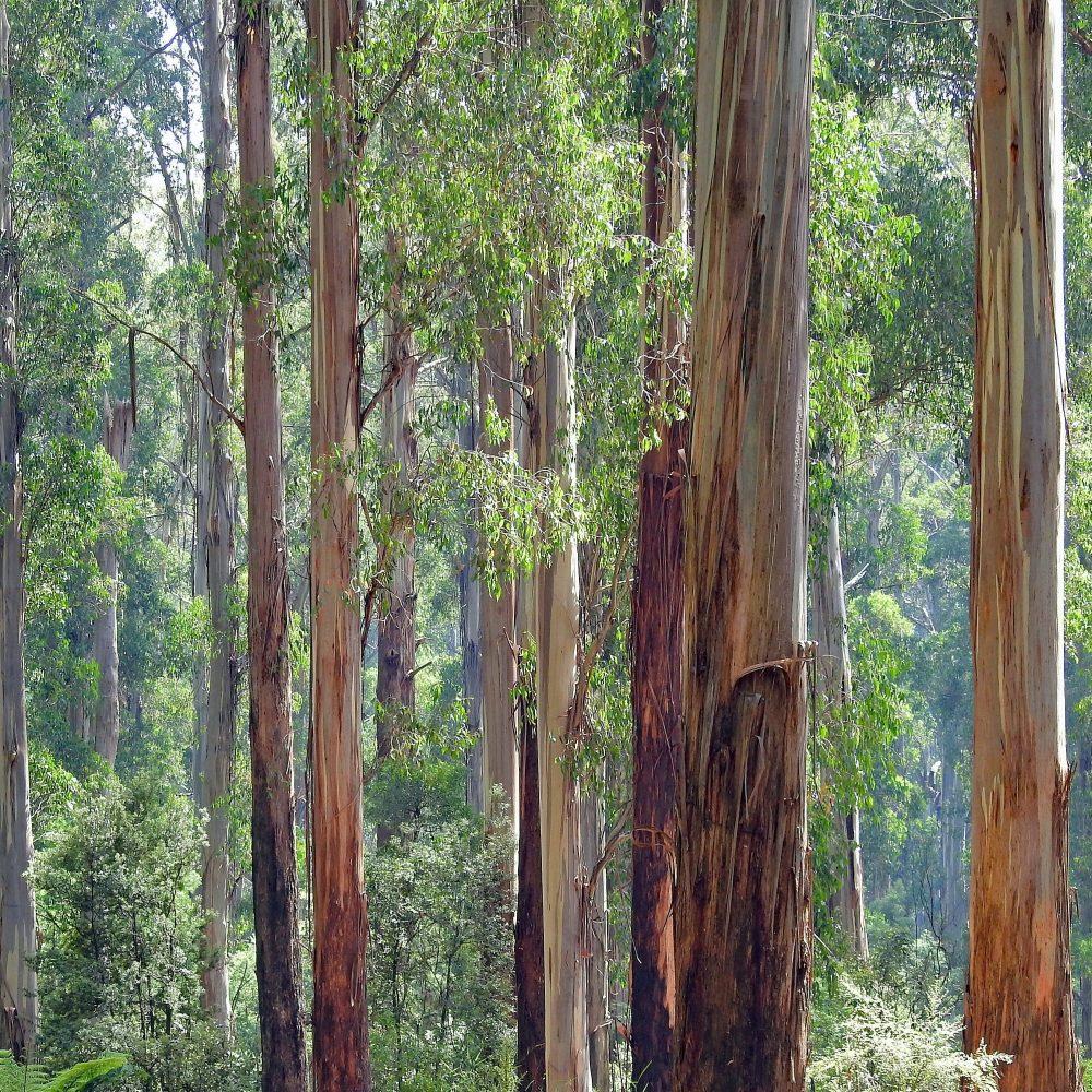 Eco-Friendly Eucalyptus Wood - forest