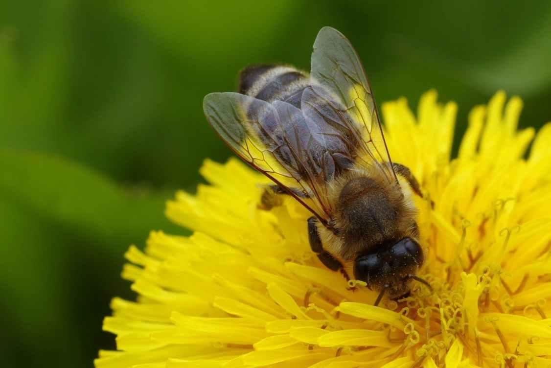 animal beautiful bee bloom