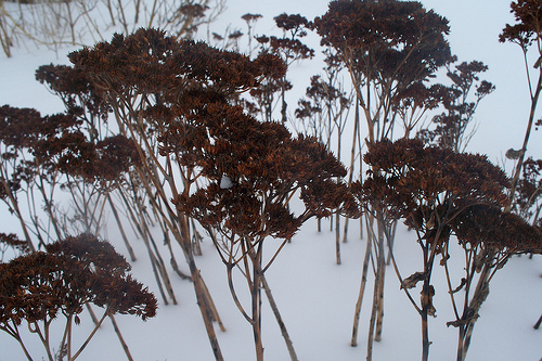 dried flowers sticking up out of snow