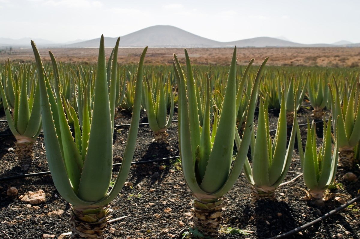 Aloevera Farming and Processing Business
