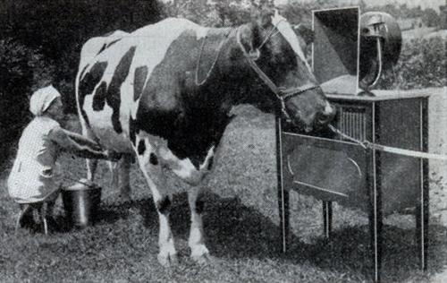 A cow enjoys listening to Smooooth Radio