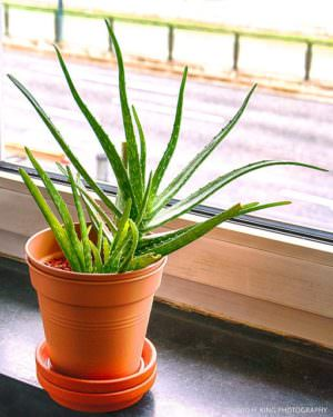 One of the best plants for indoor air quality: Potted aloe vera plant