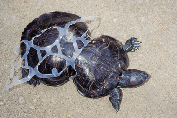 Turtle entangled in a plastic six pack ring