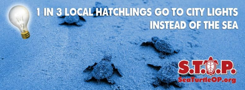 1 in 3 local hatchlings go to city lights instead of the sea