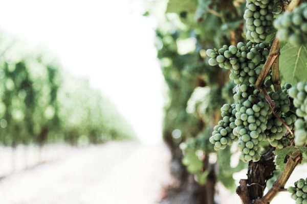 green wine grapes in vineyard