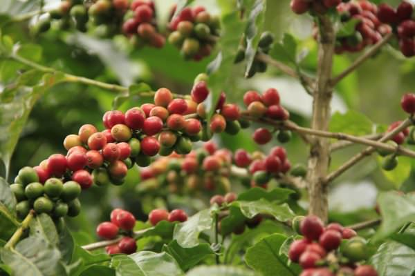 coffee fruit growing on the tree