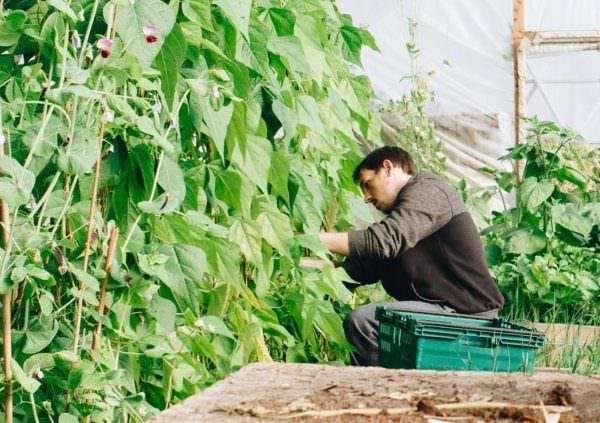 man tending peas in greenhouse