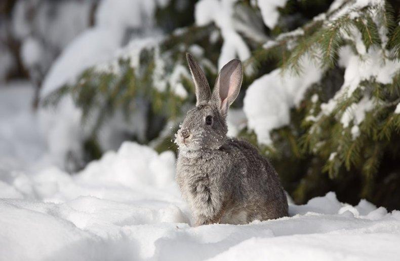 a wild rabbit in snow