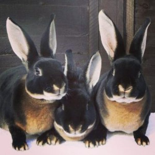 black otter rex bunnies