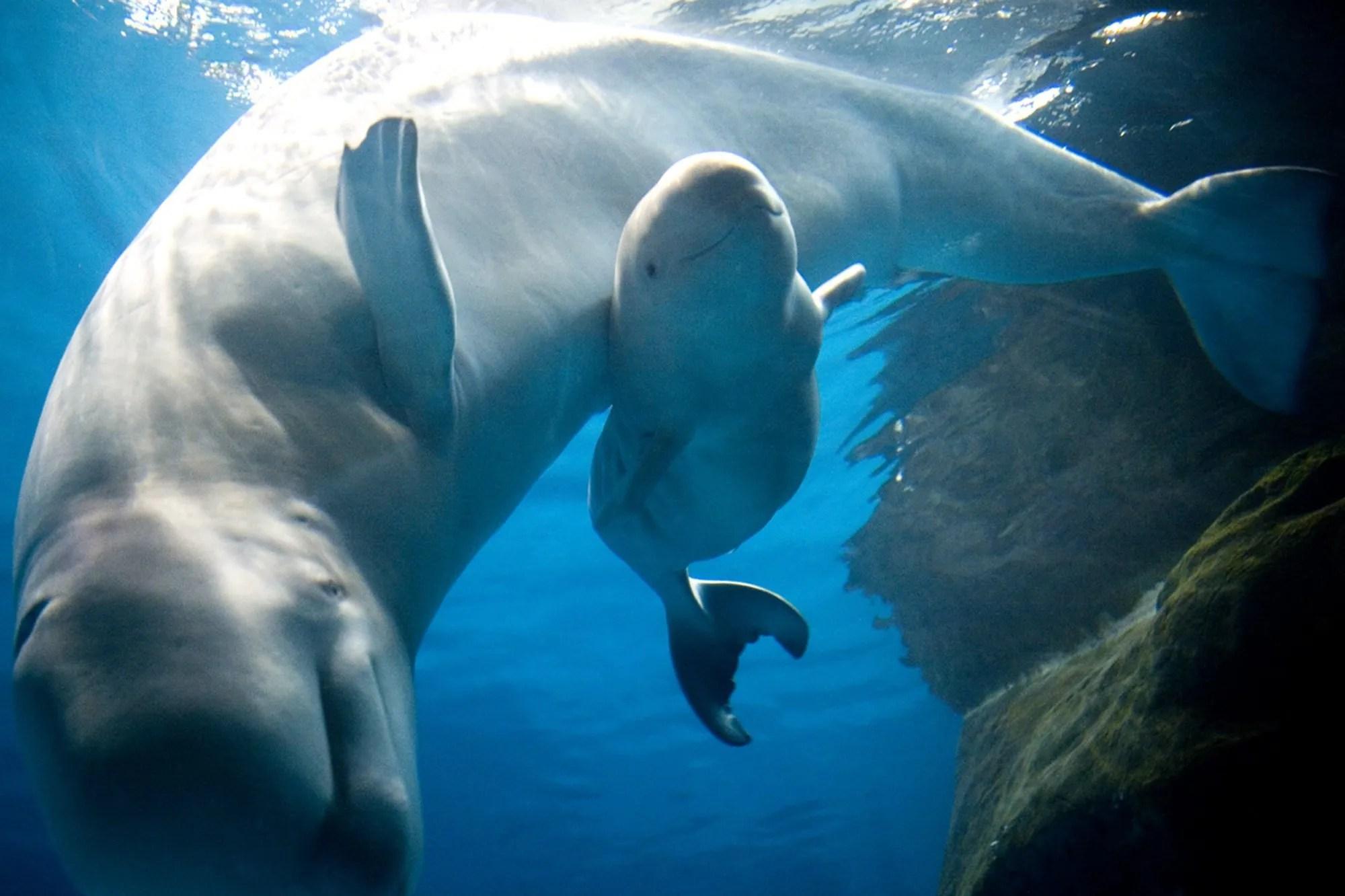 Shedd Beluga Birth