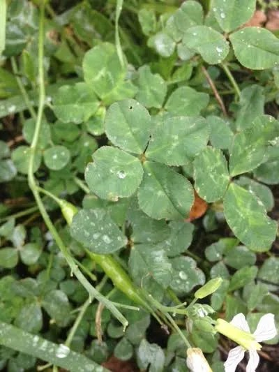 100 Ways of EarthFit- Day 39: Looking for Four-Leaf Clovers