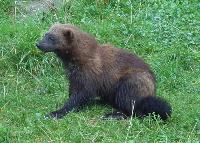 Tell me Wolverine couldn't get hordes of people to love and protect this beautiful little predator!