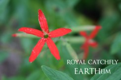 royalcatchfly-webbook