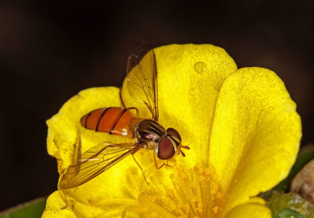 Black banded hover fly (Episyrphus species) capturing pollen. © Stephanie Jackson