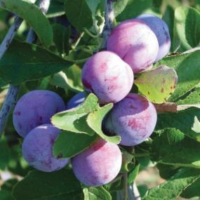 http://www.starkbros.com/products/fruit-trees/plum-trees/damson-plum