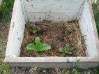 Another greens bedded in a small cold frame