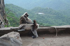 A mother Langour Monkey in the mountains perched on roadside stone wall, with new born.