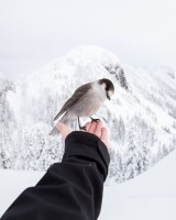 bird on extended arm and hand, back drop snowy mountain