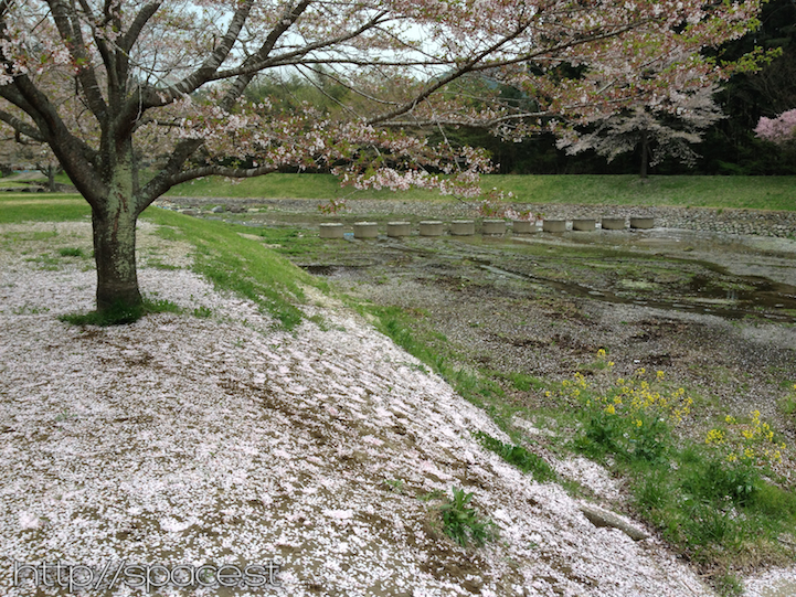 and by the 25th, the ground is covered in cherry blossoms