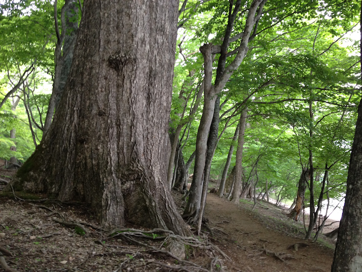 an enormous tree along the path