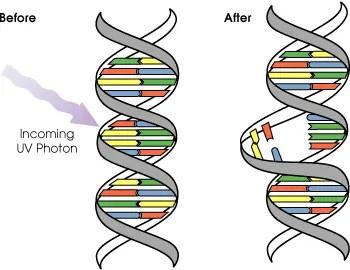 DNA UV mutation