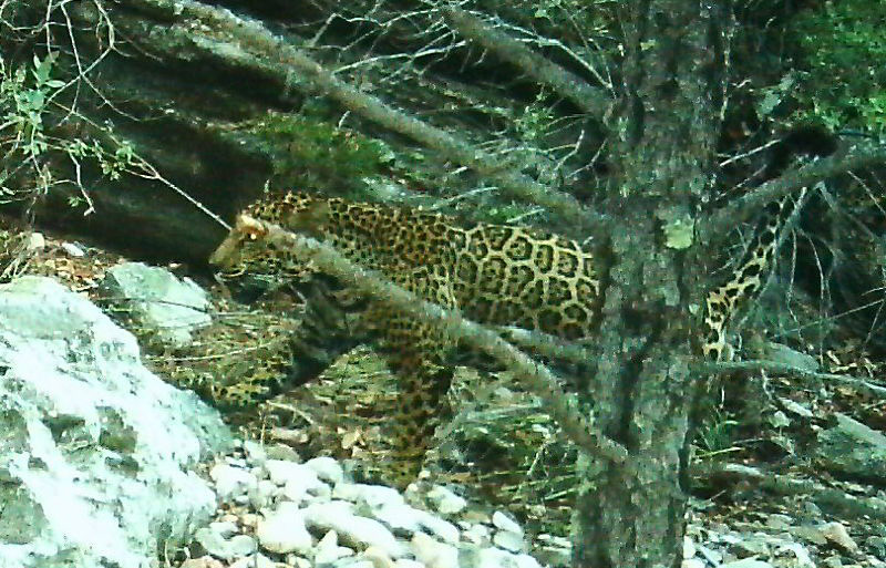 Male jaguar photographed by motion-detection wildlife cameras in the Santa Rita Mountains on August 31, 2015.