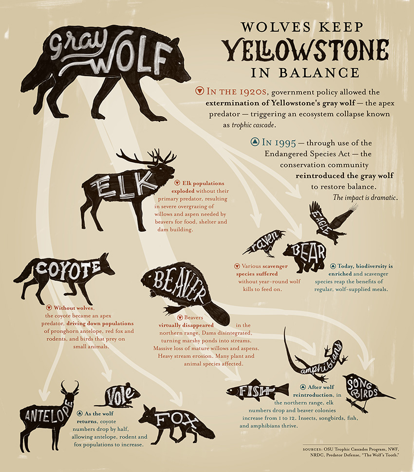 Wolves Keep Yellowstone in Balance.