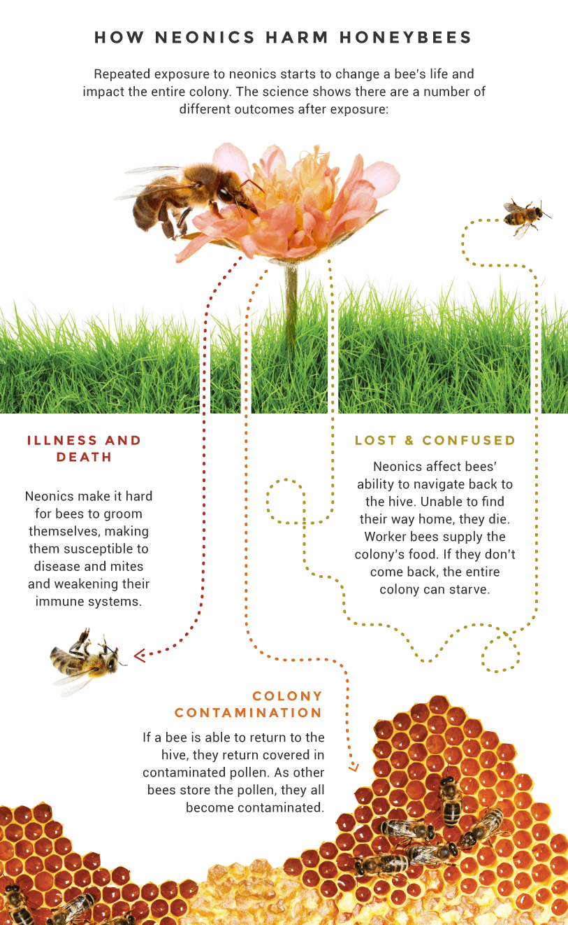 How 'neonics' harm honey bees.