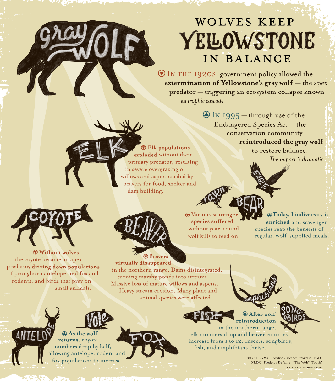 Infographic Wolves Keep Yellowstone In The Balance