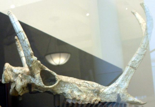 Synthetoceras tricoronatus skull