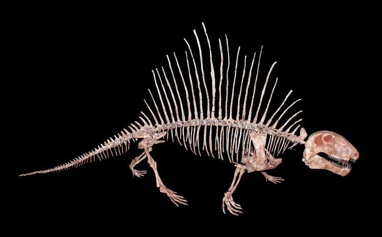 Remains of a dimetrodon, which died out in the Permian