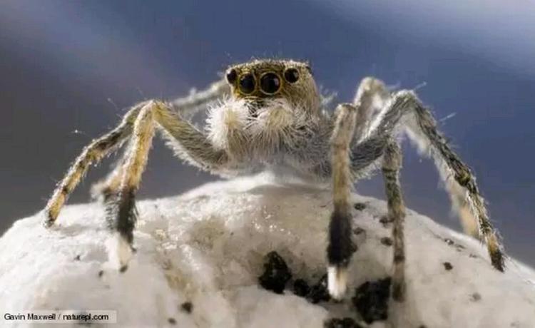Himalayan Jumping Spider
