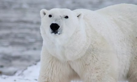 Polar Bear Enjoying Antartica