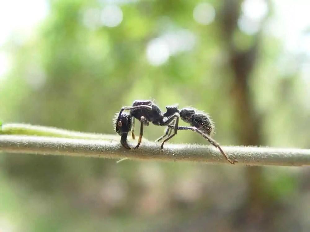 Bullet Ant