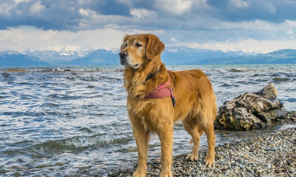 Most Desirable Dog Breeds