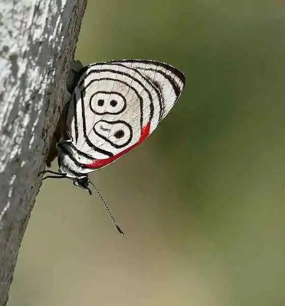 Eighty-Eight Butterfly