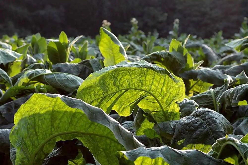 Tobacco (Nicotiana tabacum)