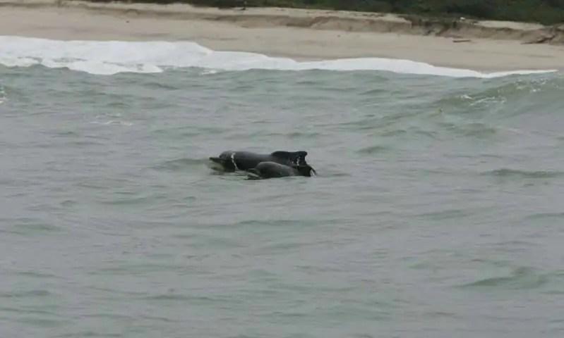 Atlantic humpback dolphins