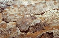 Carpet Viper Facts - Carpet Vidalondon