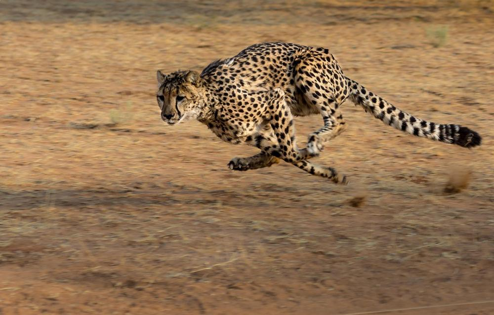 Fastest Land Animals