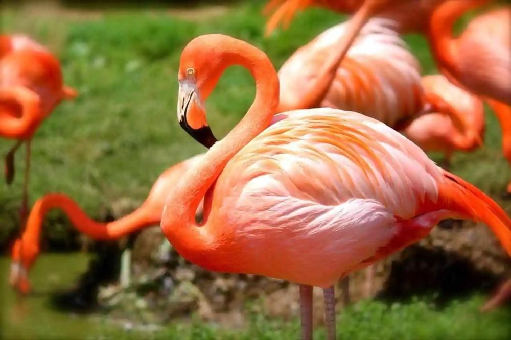 Maior flamingo
