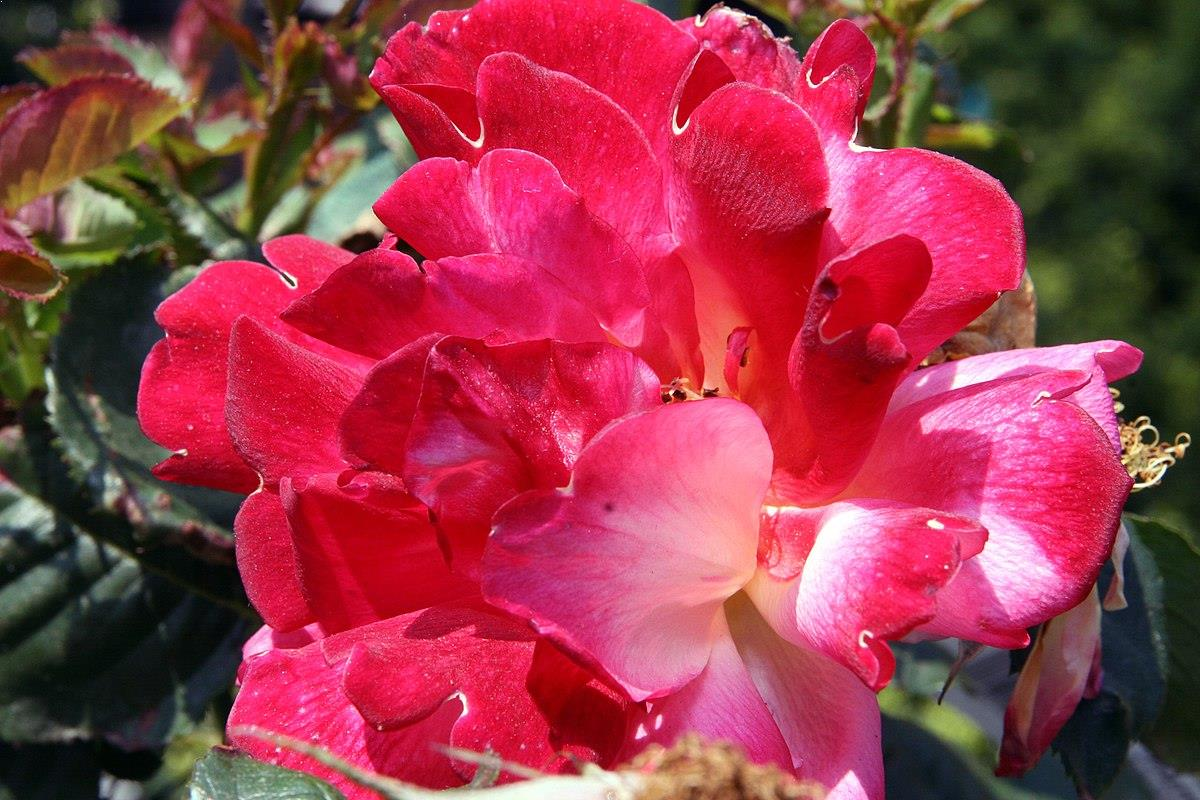 Top 10 most beautiful roses in the world beautiful roses izmirmasajfo