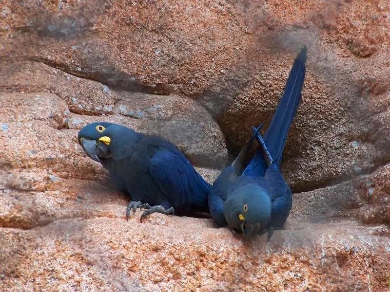 Lear's Macaw