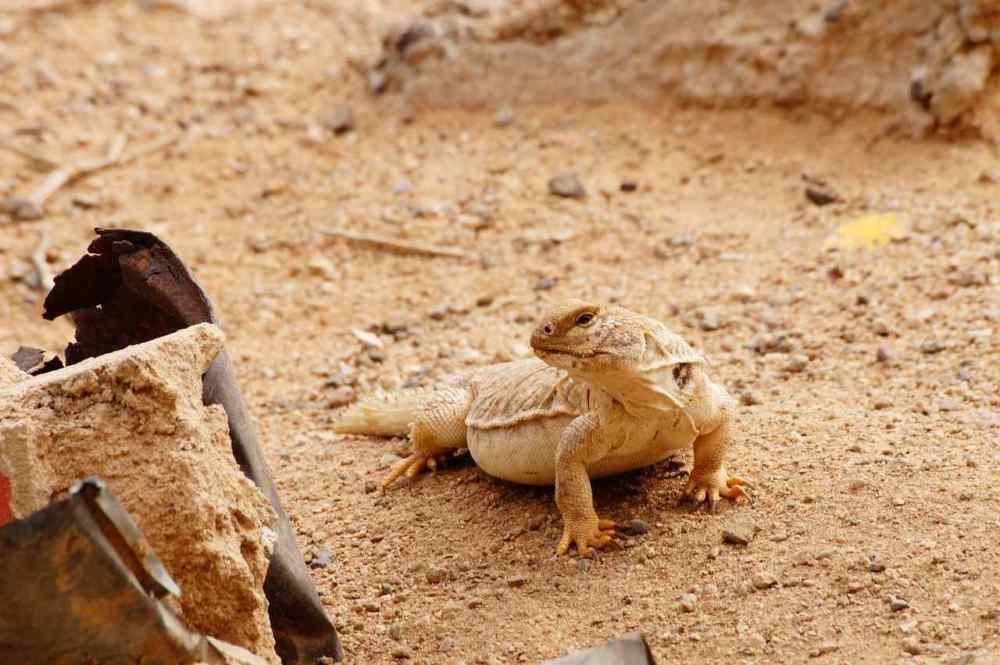 Desert Monitor